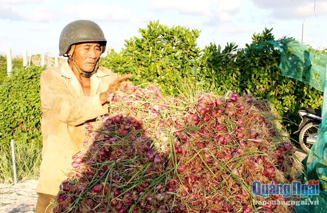 """Nông dân Lý Sơn vất vả trong sản xuất lại thường bị thương lái """"ép"""" trong khâu tiêu thụ."""