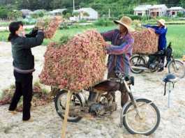 Nông dân Lý Sơn thu hoạch hành tại ruộng.