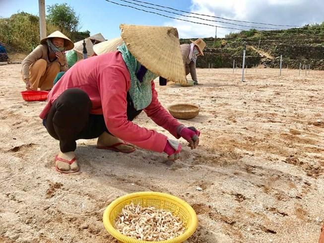 Nông dân trồng tỏi ở Lý Sơn