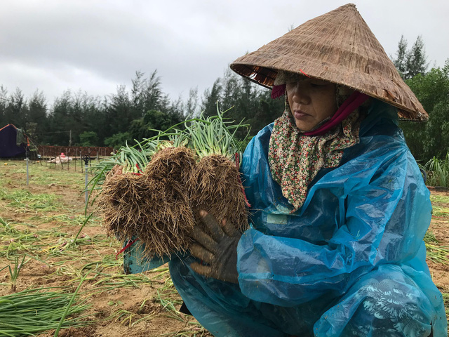 Người dân huyện Bình Sơn nhổ hành non để bán nhằm giảm bớt thiệt hại
