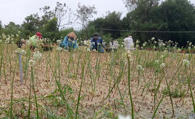 Nông dân xã Bình Hải (huyện Bình Sơn) ra đồng đào củ hành tím ngập úng vớt vát sau mưa lũ. Ảnh: Hóa Trần.