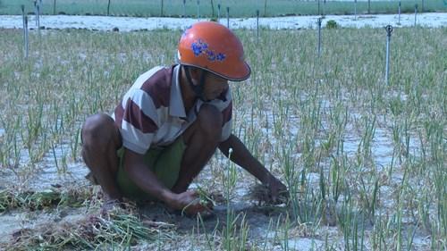 Người dân trồng hành tỏi Lý Sơn đang lao đao vì mất mùa vụ hành Thu Đông