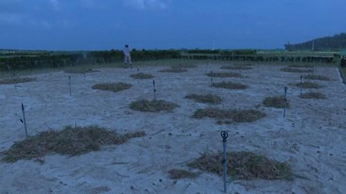 Hàng chục héc ta hành Thu Đông của nông dân Lý Sơn hư hại vì thời tiết bất thường.