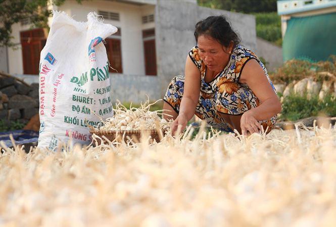 Nông dân Lý Sơn phân loại tỏi sau thu hoạch. Ảnh: N.Thành.