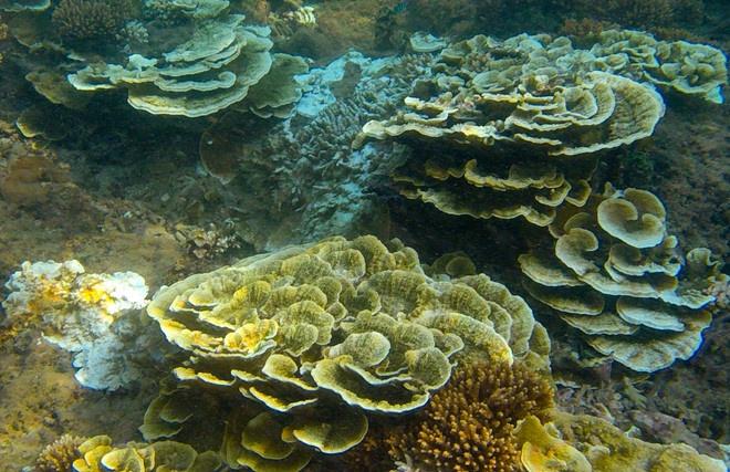 Rạn san hô tuyệt đẹp bên trầm tích núi lửa Gành Yến, xã Bình Hải (huyện Bình Sơn). Ảnh: Minh Hoàng.