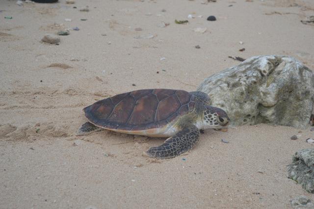 Rùa biển ở Lý Sơn