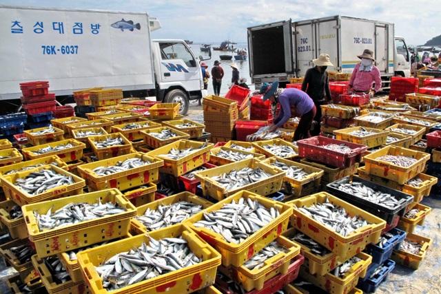 Thu mua, chế biến cá nục tại cảng cá Lý Sơn.