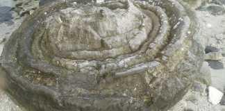 Bảo tồn di sản hóa thạch san hô hình cối xay ở đảo Lý Sơn.