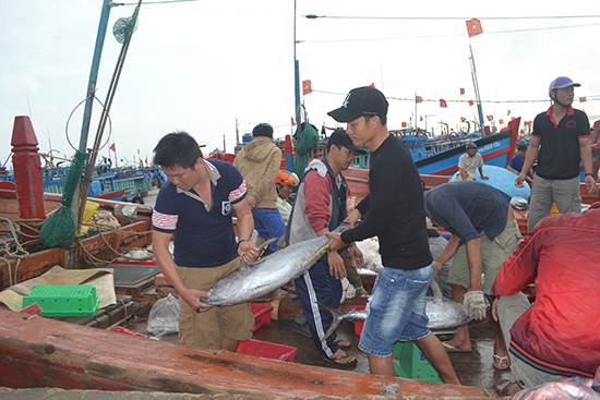 Ngư dân Lý Sơn vận chuyển cá ngư trong khoang ra ngoài bán cho thương lái.