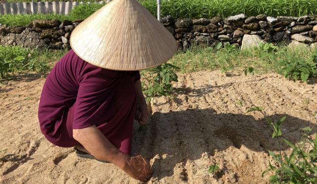 Một góc vườn rau trồng để bán của người dân trên đảo Lý Sơn.