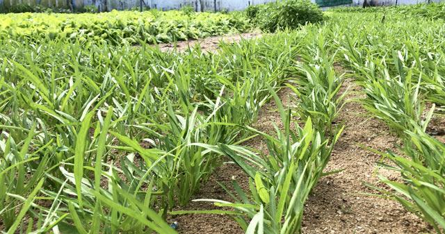 Rau trồng của người dân Lý Sơn chủ yếu là các loại rau xà lách, muống, quế...
