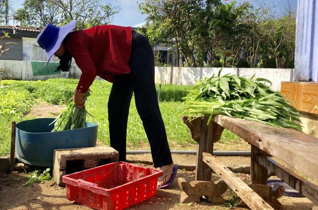 Thu hoạch rau trồng tại đảo để chuẩn bị đem bán.