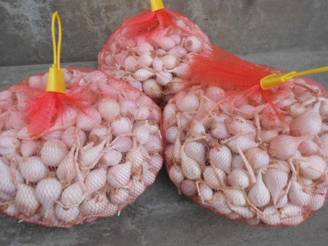 Tỏi cô đơn (tỏi 1 tép) Lý Sơn khá khan hiếm với giá bán dao động từ 1,2 - 1,3 triệu đồng/kg