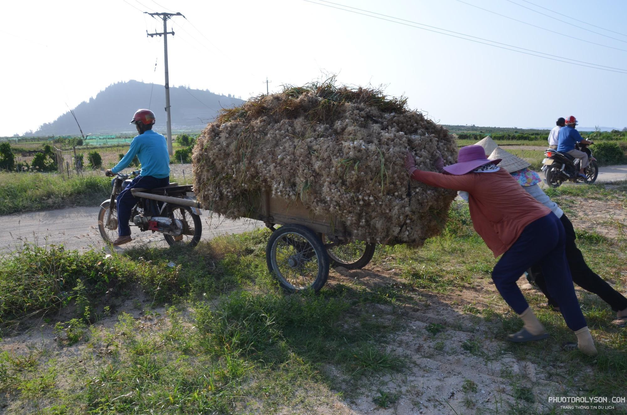 Vụ Đông Xuân 2017 - 2018, đảo Lý Sơn trồng 330 ha tỏi. Nhờ thời tiết thuận lợi nên năng suất tỏi tăng cao hơn so với năm trước. Trung bình mỗi sào tỏi cho thu hoạch 450 - 480 kg tỏi tươi