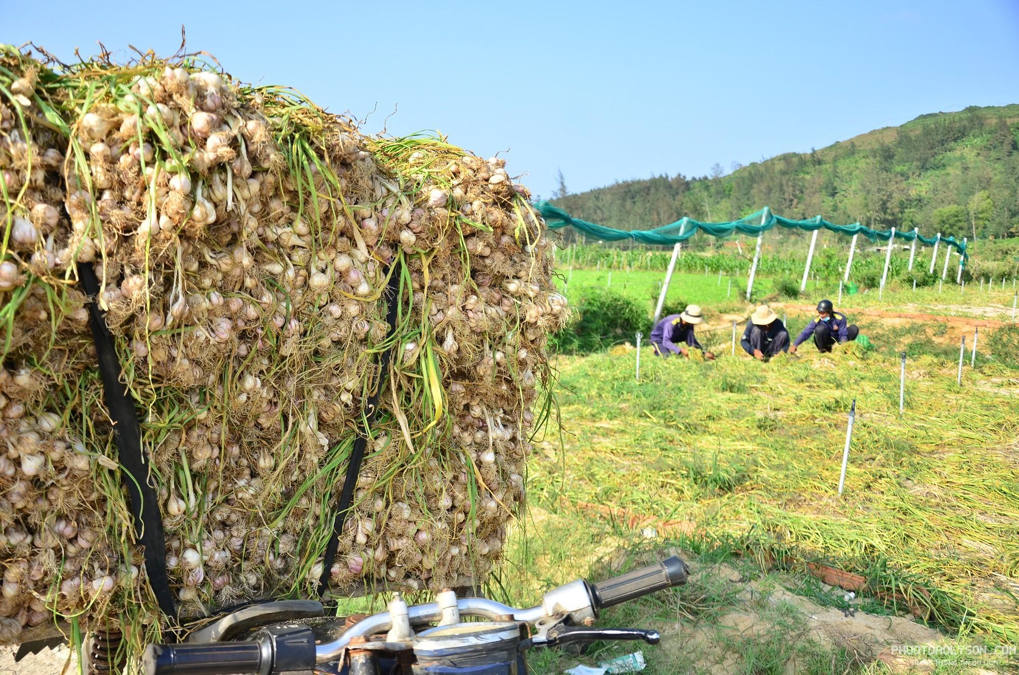 Theo thống kê của UBND huyện Lý Sơn, tổng sản lượng tỏi tươi trong vụ này lên đến 2.000 tấn, tương đương 1.500 - 1.600 tấn tỏi khô