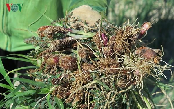 Hành trồng từ 15 - 20 ngày bắt đầu bị héo rũ, chết khô.
