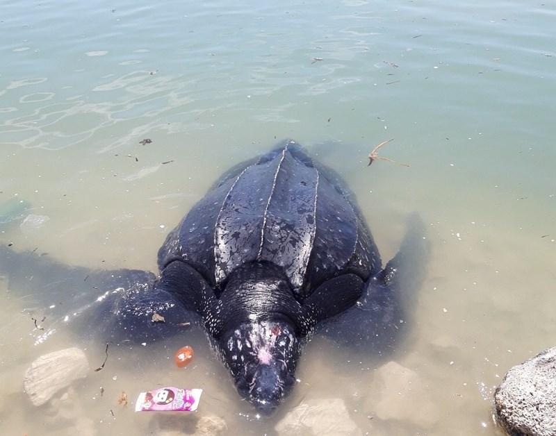 Cá thể rùa da vừa được phát hiện tại vùng biển Lý Sơn là một trong năm loài rùa biển quý hiếm nhất ở Việt Nam.