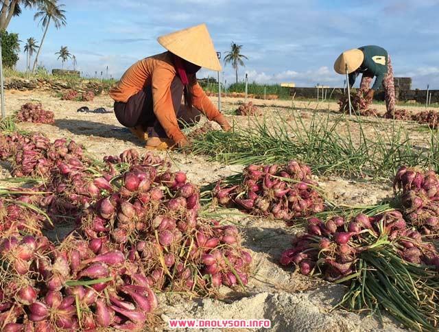 Người dân thôn Đông, xã An Hải thu hoạch hành trồng.