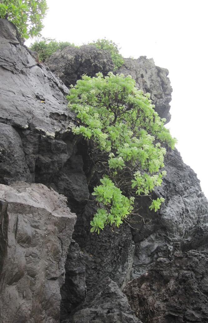 Cây phong ba trên vách nham thạch ở đảo Bé