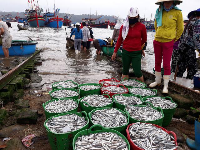 ngư dân lý sơn trúng cá cơm