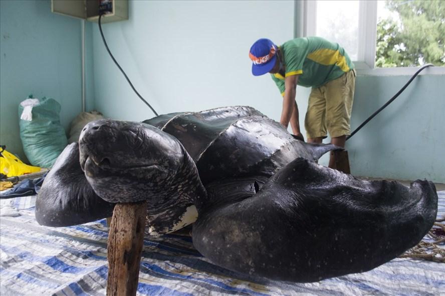 rùa quý trên đảo lý sơn