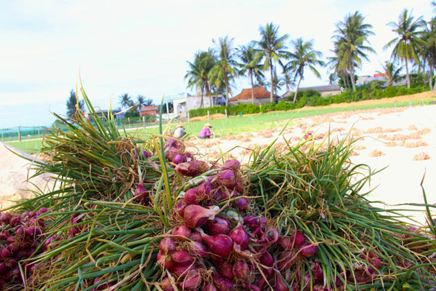Hành tím cùng tỏi là 2 loại cây trồng chủ lực trên đảo Lý Sơn (Quảng Ngãi).