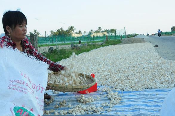 Theo thông tin từ chính quyền huyện Lý Sơn, mỗi năm địa phương này chỉ sản xuất ra được khoảng 500kg tỏi cô đơn
