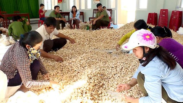 Huyện đoàn Lý Sơn thu mua tỏi trợ giá cho nông dân Lý Sơn