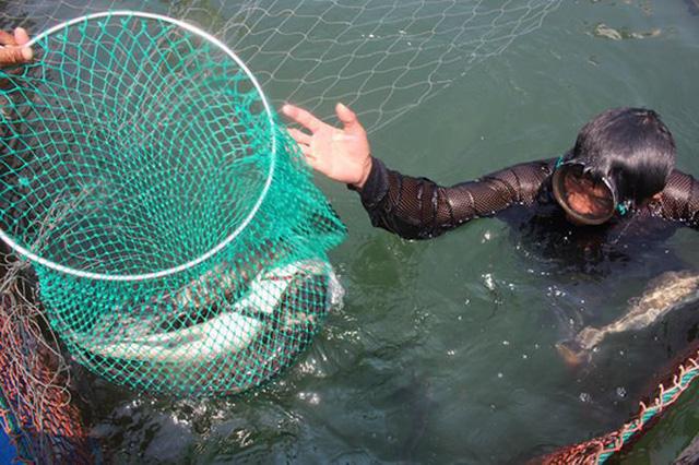 Nguyên nhân cá chết đang được huyện Lý Sơn đang phối hợp với các ngành chức năng xác định