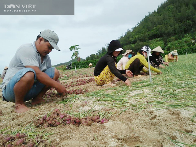 Nông dân đảo Lý Sơn, tỉnh Quảng Ngãi thu hoạch hành bị ngã hư
