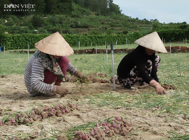 Người nông dân huyện đảo Lý Sơn, tỉnh Quảng Ngãi nhổ bỏ hành bị hỏng để chuẩn bị đất, xuống giống cho vụ tỏi sắp đến