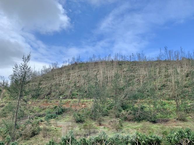 Nhiều cánh rừng phòng hộ ở trên huyện đảo bị đổ ngã và chết khô do nước biển.