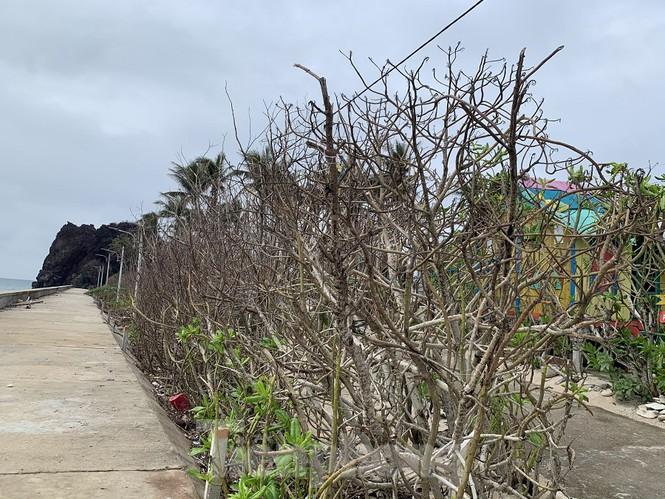 Những hàng dương, cây xanh trên đảo Bé cũng nằm trong tình trạng đó.