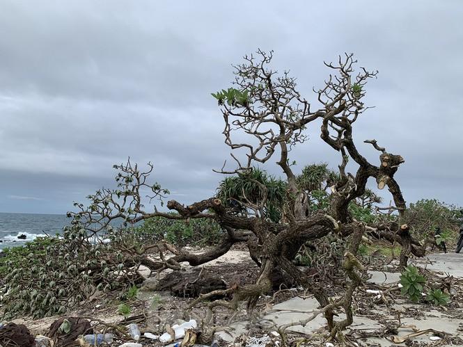 Cây phong ba cô đơn nổi tiếng trên đảo Bé bị quật ngã sau bão số 9.