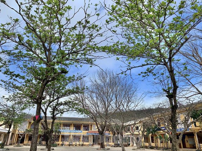 Ông Đặng Tấn Thành, Phó chủ tịch UBND huyện Lý Sơn cho biết, trong những năm qua huyện đảo rất tích cực trồng cây xanh, trồng rừng phòng hộ để che chắn gió phục vụ cho việc sản xuất nông nghiệp của người dân, bên đó phục cho việc phát triển du lịch. Tuy nhiên, sau cơn bão số 9 đã khiến cho toàn bộ cây xanh trên đảo bị chết, ngã đổ. Huyện cũng đã chỉ đạo cho lực lựng chức năng chăm sóc những cây còn lại, đồng thời xin nguồn kinh phí ở cấp trên để khôi phục lại những diện tích cây xanh đã chết.