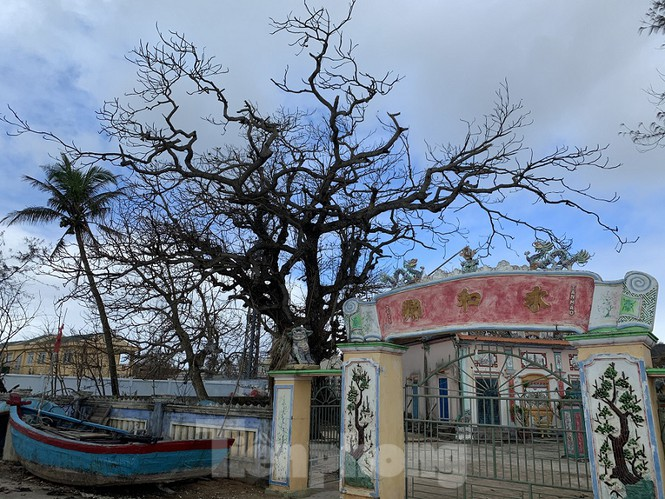 Theo ghi nhận của PV, dọc theo các tuyến đường biển quanh đảo Lý Sơn, hầu hết các cây xanh ở đây đều có hiện tượng chết khô, rụng trụi lá. Nhiều gốc bàng cổ thụ lâu năm cũng nằm trong tình trạng đó.