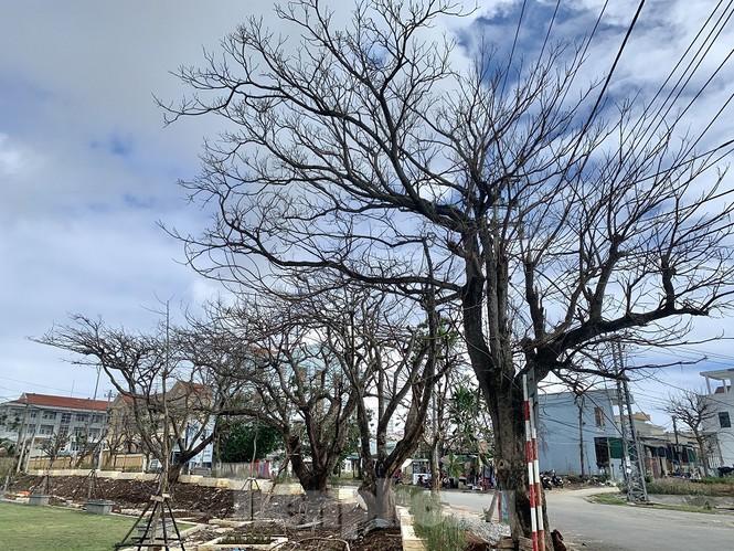 Hàng loạt cây phượng lâu năm ở trước trung tâm chính trị, hành chính huyện Lý Sơn bị rụng lá, chết khô.
