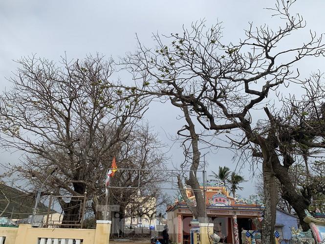 Nhiều gốc cây di tích lịch sử cấp Quốc gia lâu năm ở trên đảo cũng nằm trong tình trạng đó, rụng lá, héo khô...