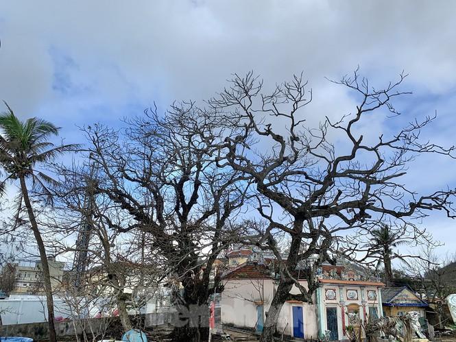 Ông Trương Văn Cửu, thôn Đông An Hải, huyện Lý Sơn, cho hay, sống ở đây hơn nữa cuộc đời đây là lần đầu tiên ông thấy một cơn bão kỳ lạ đến như vậy, bão mà không có mưa, gió mạnh cấp 14-15 cuốn nước biển, cát trắng thổi khắp đảo, bão đi qua trời cũng không mưa , khiến cây xanh quanh đảo chết khô vì nước mặn. Cây xanh trên huyện đảo này muốn khôi phục lại có thể mất một khoảng thời gian khá lâu, phải vài năm nữa cây xanh mới khôi phục lại được như trước khi bão số 9 chưa vào.