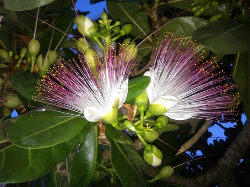 Hoa bàng vuông cũng là nét đặc trưng của đảo Lý Sơn