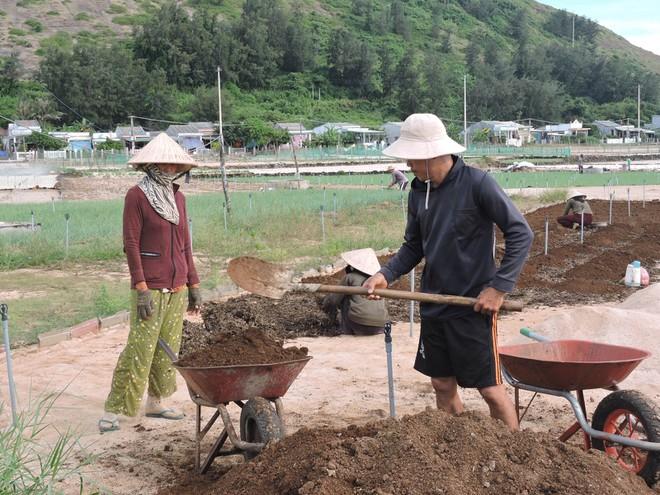 Nông dân Lý Sơn tranh thủ cải tạo đất và xuống giống sản xuất vụ tỏi mới