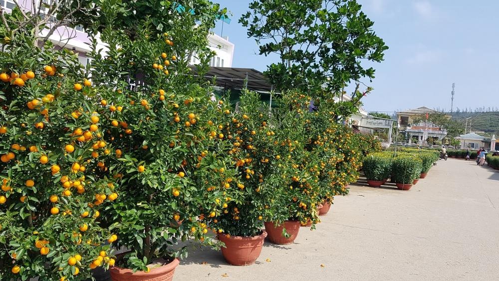 Nhiều loại cây cảnh đã được bày bán trên đảo Lý Sơn phục vụ nhu cầu của người dân xứ đảo.