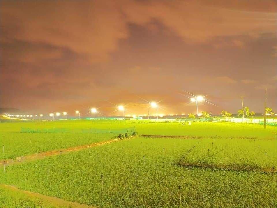 Những ruộng tỏi mới xuống giống rực sáng trong đêm ở Lý Sơn.