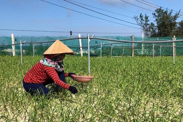 Cây tỏi được thu hoạch sau khi trồng được khoảng 2 tháng để làm món tỏi non