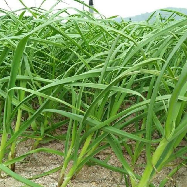 Cây tỏi non được thu hoạch sau đó cắt bỏ phần ngọn, chỉ lấy phần củ và gốc dài khoảng 10 cm