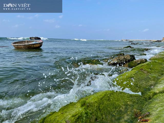 Theo đó dọc theo bãi đá ven bờ quanh đảo Lý Sơn, nơi những con sóng tinh nghịch hay đuổi nhau chạy qua đã tạo nên những thảm rêu xanh đầy mê hoặc.
