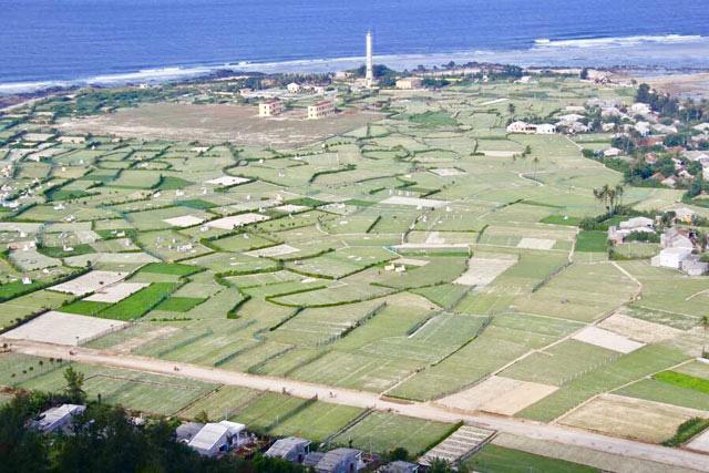 Một góc cánh đồng trồng tỏi ở Lý Sơn