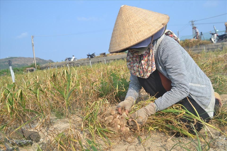 Tuy tỏi được mùa nhưng giá tỏi năm nay rẻ so với mọi năm. Nhiều nông dân Lý Sơn lựa chọn phương án thu hoạch tỏi về phơi khô trữ chờ giá cao rồi bán.