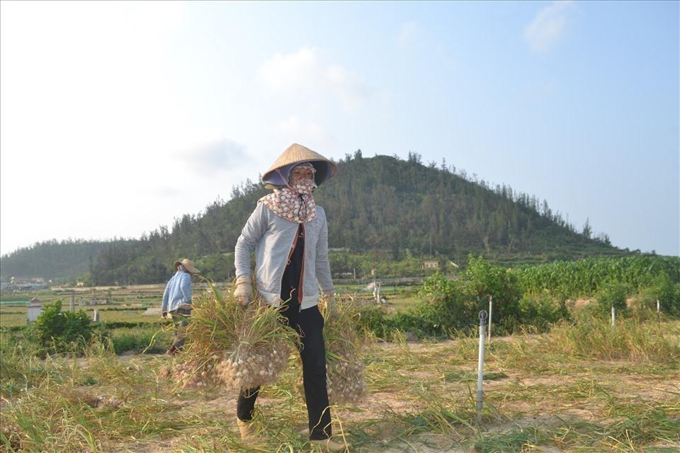 Hiện mỗi kg tỏi tươi được thương lái thu mua tại đảo từ 25.000 – 30.000 đồng/kg. Giá tỏi này người trồng tỏi trên đảo không có lãi, thậm chí là cầm chắc lỗ 5 triệu đồng mỗi sào.