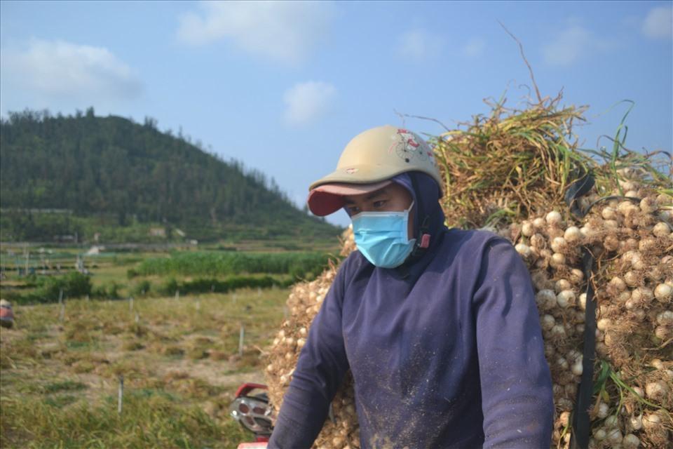 """Giá tỏi tươi đầu vụ thấp, nhiều nông dân ở """"Vương quốc tỏi"""" đành cắt bỏ phần lá và rễ tỏi rồi đem phơi khô bảo quản, đợi giá cao bán. Việc trữ tỏi khô chờ giá cao bán thì nông dân trên đảo cũng đối mặt với nhiều nỗ lo về giá cả. Cuối năm ngoái giá tỏi khô chỉ ở mức 25.000 - 30.000 đồng/kg, giá tỏi quá thấp khiến lượng tỏi khô tồn đọng trong dân khá lớn."""